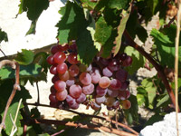 Grapes of the Roditis variety